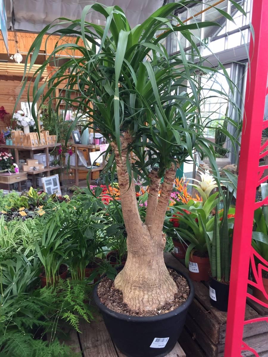 Arbre Fruitier D Intérieur beaucarnea ou pied d'éléphant, plante verte d'intérieur