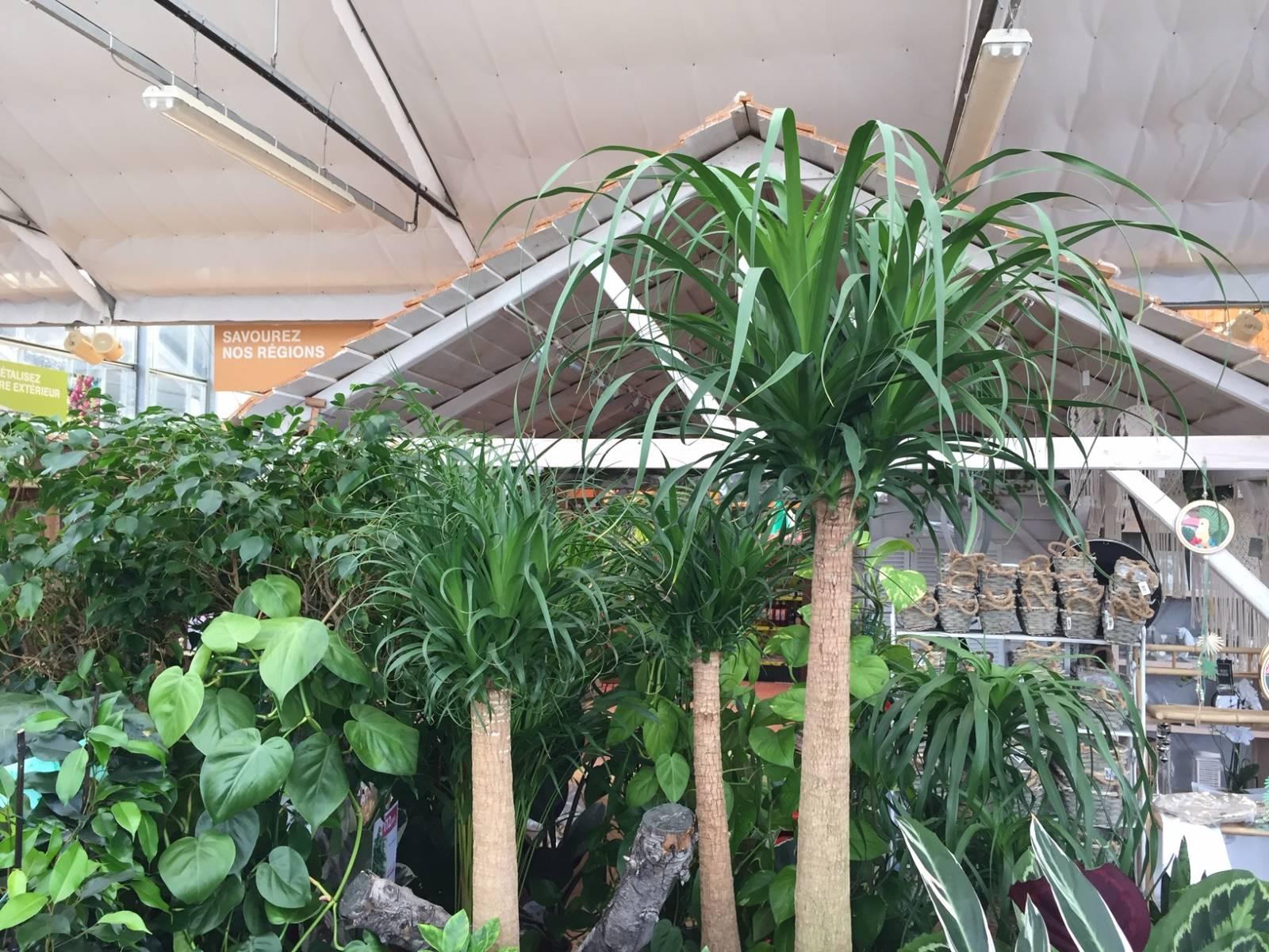 Plante Exterieur Toute Saison Pas Cher beaucarnea ou pied d'éléphant, plante verte d'intérieur